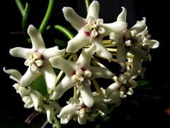 De puro marfil (mnovela2293) Tags: hoya australis australia apocynaceae asclepiadaceaes