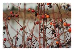 What is Hip (Robert Drozda) Tags: forestpark oregon fernhillwetlands rose rosehip thorn twig water wetland wastewatertreatment habitat digitalcamera drozda