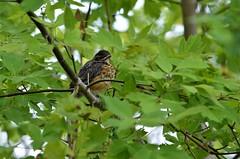 American Robin (Immature), Minnesota, Hennepin County- Minneapolis, North Mississippi Regional Park (EC Leatherberry) Tags: minnesota americanrobin bird wildlife americanrobinimmature hennepincounty minneapolisminnesota northmississippiregionalpark turdusmigratorius