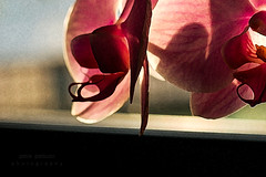 ...at the window... (@petra) Tags: postprocessed flower floral orchid window light impressions textures details nikon