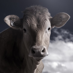 Infrared Cow Headshot (GeorgeKBarker) Tags: infrared cow nose ear tag blue cattle norwich norfolk