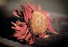 19 Decay (manxmaid2000) Tags: flower dead decay dry decompose perish vintage faded aged red pink yellow bloom head fuji depthoffield fragile muted desaturated warm bedraggled closeup macro shade dying
