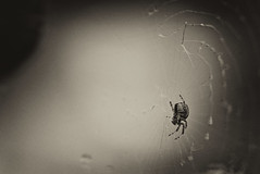 spider_DxO_Nik (douglasjarvis995) Tags: spider wed insect bug macro pentax k1 150mm