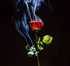 Hot Rose (AHO66) Tags: rose rauch smoke flower red