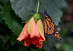 Beauties Opening (ggppix) Tags: monarch butterfly bronxzoo nyc flower