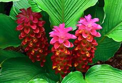 Florida Red Ginger Plant (glenn2meyer) Tags: florida ginger plant botanical gardens largo panasonic