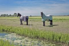 Just the two of us ... (5488) (Le Photiste) Tags: clay justthetwoofus hindeloopenfryslânthenetherlands fryslânthenetherlands fryslânheitelân frysianlandscape nederland horses animals ngc nature naturesprime rainbowofnaturelevel1red planetearthnature planetearth ditch clouds dutchlandscape landscape mostrelevant perfectview beautiful afeastformyeyes aphotographersview autofocus artisticimpressions blinkagain beautifulcapture bestpeople'schoice creativeimpuls cazadoresdeimágenes canonflickraward digifotopro damncoolphotographers digitalcreations django'smaster finegold friendsforever fairplay greatphotographers groupecharlie peacetookovermyheart clapclap hairygitselite ineffable infinitexposure iqimagequality interesting inmyeyes livingwithmultiplesclerosisms lovelyflickr myfriendspictures mastersofcreativephotography niceasitgets photographers prophoto photographicworld photomix soe simplysuperb showcaseimages simplythebest simplybecause thebestshot thepitstopshop theredgroup thelooklevel1red vividstriking wow yourbestoftoday mostinteresting awesomeview greatview awesome great