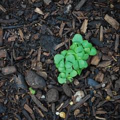 Baby Basil (jolynne_martinez) Tags: basil herb seedling herbs seedlings growing ground earth dirt garden gardening nikon d60 green brown