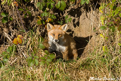 Prestwick Fox (Martin Bridges Photography) Tags: fox wildlife nature outside mammal nikon nikkor scotland prestwick prestwickairport
