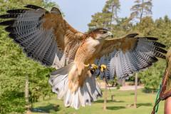 DSC_1575 (Pearls86) Tags: hanstedt niedersachsen deutschland greifvogel nikon d7200 18140mm natur nature snapshot