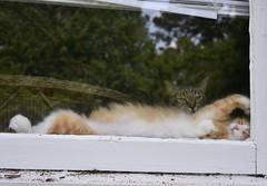 I am outside, looking in. (rootcrop54) Tags: jimmy orange ginger white tabby longhair male cricket mackerel tabbies cat cats window outsideinside neko macska kedi 猫 kočka kissa γάτα köttur kucing gatto 고양이 kaķis katė katt katze katzen kot кошка mačka gatos maček kitteh chat ネコ cc100 cc500