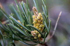 Little Teenie Bug . Is this a tic or spider? (Anna Gurule) Tags: trees pine bugs insects green pineneedles