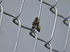 A Snail On The Fence (☼☼ Jo Zimny Photos☼☼) Tags: fencedfriday fence snail dirt chainlink