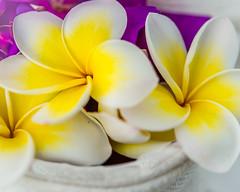 For a moment (risaclics) Tags: make me smile 60mmmacro frangiapani june2019 nikond610d flora flowers white yellow makemesmile