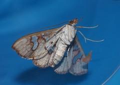 Cream tan and pearl Window wing moth Glyphodes canthusalis Spilomelinae Crambidae Airlie Beach rainforest P1060328 (Steve & Alison1) Tags: cream tan pearl window wing moth glyphodes canthusalis spilomelinae crambidae airlie beach rainforest