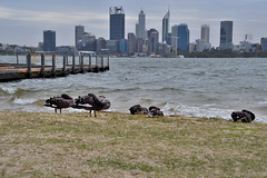 Black Swans (philk_56) Tags: western australia south perth coode street jetty swan river skyline black swans birds water