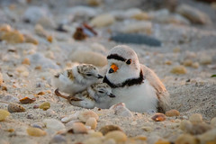 Piping Plover with Babies (lablue100) Tags: plover pipingplover mom babies cuddle nature animals action hide beach sand shells landscapes tiny