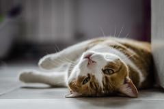 Purrrr (::: M @ X :::) Tags: gato cat floor acostado lying down fav10 fav20 fav30 fav40 fav50 fav60 fav70 fav80 fav90 fav100 fav110
