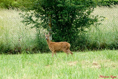Chevreuil Femelle (Ezzo33) Tags: france gironde nouvelleaquitaine bordeaux ezzo33 nammour ezzat sony rx10m3 mammifère animal animaux mammifères chevreuil capreoluscapreolusdeer