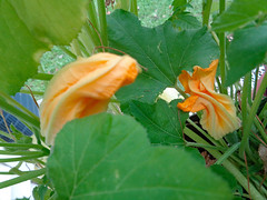 Pair Of Blossoms. (dccradio) Tags: lumberton nc northcarolina robesoncounty zucchini leaf leaves foliage bloom blooming blooms blossom blossoming blossoms flower floral flowers squash june summer thursday evening goodevening sony cybershot dscw830 outside outdoors outdoor porchgarden zucchiniplant plant gardening patiogarden