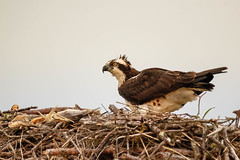 Female Osprey (lablue100) Tags: female osprey birdsofprey nest mom aimals perch wings feathers nature action beauty