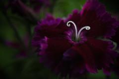 Flower Macro (Faron Dillon) Tags: flower flowers macro sony tamron metabones spring closeup bokeh