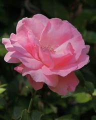 Pink Rose 05-24-19 (MelenaMe) Tags: rose pinkrose petal petals thorn thorns leaf leaves plant garden nature stamen stem