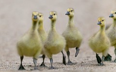 Stepping Out (Note-ables by Lynn) Tags: goslings geese animals canon handganimalsonly