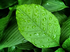 After the rain (mswan777) Tags: leaf plant water drop rain weather macro detail texture green wet outdoor nature stevensville michigan apple iphone iphoneography mobile