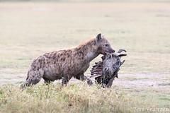 Moment in Ndutu (tkfranzen) Tags: tanzania ndutu ngorongoroconservationarea africansafari africanwildlife hyena spottedhyena predation prey