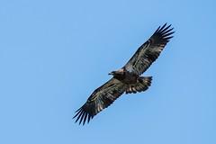 Pygargue À Tête Blanche / Bald Eagle  immature (ALLAN .JR) Tags: pygargueàtêteblanche baldeagle oiseau bird nature wildlife nikon baiedufebvre rapace