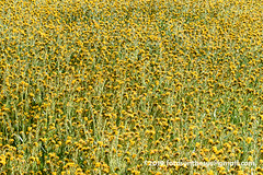 Carrizo Fiddleneck (Amsinckia tessellata var. gloriosa) DSC_5550 (fotosynthesys) Tags: carrizofiddleneck amsinckiatessellatavargloriosa devilslettuce amsinckiatessellata fiddleneck borage boraginaceae carrizoplain california unitedstates