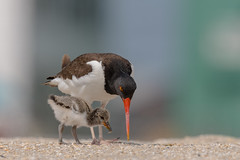 """""""Like this"""" (rob.wallace) Tags: spring 2019 american oystercatcher chick jersey shore birds breeding season"""
