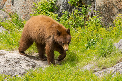 Stepping by (ChicagoBob46) Tags: cinnamonblackbear balckbear bear yellowstone yellowstonenationalpark nature wildlife coth5 naturethroughthelens ngc npc