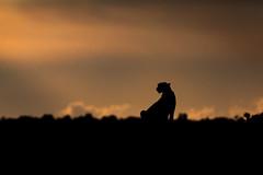 Kisaru in Silhouette (Xenedis) Tags: kisaru acinonyxjubatus africa afrika animal bigcat cat cheetah duma eastafrica kenya maasaimara maranorthconservancy narokcounty plains republicofkenya riftvalley safari silhouette sky wildlife ig fh