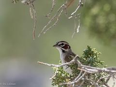 Lark Sparrow in Juniper (Chub G's M&D) Tags: westdesert avian birding juniper tooelecounty chondestesgrammacus larksparrow birds sparrow utah birdphotography aves