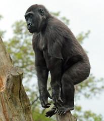 western lowlandgorilla Burgerszoo 094A1059 (j.a.kok) Tags: animal africa afrika aap ape mammal monkey mensaap primate primaat zoogdier dier gorilla westelijkelaaglandgorilla westernlowlandgorilla lowlandgorilla laaglandgorilla burgerszoo burgerzoo
