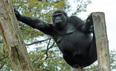 western lowlandgorilla N`Gayla Burgerszoo 094A0648 (j.a.kok) Tags: animal africa afrika aap ape mammal monkey mensaap primate primaat zoogdier dier gorilla westelijkelaaglandgorilla westernlowlandgorilla lowlandgorilla laaglandgorilla burgerszoo burgerzoo