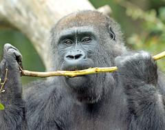 western lowlandgorilla Makoua Burgerszoo 094A1033 (j.a.kok) Tags: animal africa afrika aap ape mammal monkey mensaap primate primaat zoogdier dier gorilla westelijkelaaglandgorilla westernlowlandgorilla lowlandgorilla laaglandgorilla burgerszoo burgerzoo