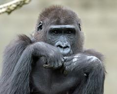 western lowlandgorilla Burgerszoo 094A1077 (j.a.kok) Tags: animal africa afrika aap ape mammal monkey mensaap primate primaat zoogdier dier gorilla westelijkelaaglandgorilla westernlowlandgorilla lowlandgorilla laaglandgorilla burgerszoo burgerzoo