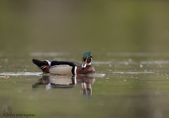Wood Duck. (84) (Estrada77) Tags: woodduck drake ducks water foxriver colorful wildlife spring2019 may2019 outdoors birds birding nature animals kanecounty illinois nikon nikond500200500mm