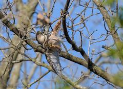 Cooper's Hawk collecting branches for his nest. (5) (Estrada77) Tags: coopershawk hawk raptors birdsofprey distinguishedraptors wildlife spring2019 may2019 outdoors birds birding nature animals kanecounty illinois nikon nikond500200500mm