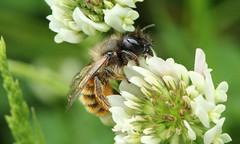 2056 (jon. moore) Tags: prioryfields warwickshire hymenoptera