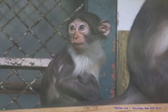 Monkeying Around......... (law_keven) Tags: cherrycrownedmangabey monkey animals wildlife photography wildlifephotography france paris menagerieduplanteszoo zoo babycherrycrownedmangabey