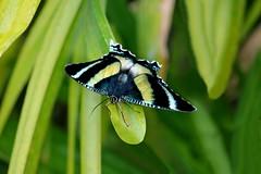 North Queensland Day Moth - Alcides metaurus (Pamela Jay) Tags: moth alcidesmetaurus northqueenslanddaymoth diurnal insect nature naturephotography pamelajay canon flickr queensland australia