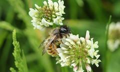 2034 (jon. moore) Tags: prioryfields warwickshire hymenoptera
