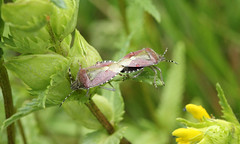 Dolycoris baccarum (jon. moore) Tags: prioryfields warwickshire hemiptera dolycorisbaccarum hairyshieldbug pentatomidae