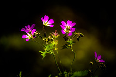 Cranesbill (tonguedevil) Tags: outdoor outside countryside spring nature garden flowers cranesbill purple colour light shadows sunlight fuji