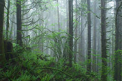 Fog Draped (Kristian Francke) Tags: outdoors landscape nature photography pentax bc canada british columbia natural tree trees plant plants