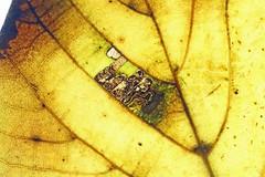 Stigmella tiliae, Weston-super-Mare, Somerset, England (Terathopius) Tags: stigmellatiliae westonsupermare leaf leafmine leafminer mine larva nepticulidae nepticulinae lime somerset england unitedkingdom greatbritain moth lepidoptera arthropod entomology insect invertebrate animal fauna wildlife wildlifephotography nature naturephotography naturaleza natureza outside macro canon5d canon closeup